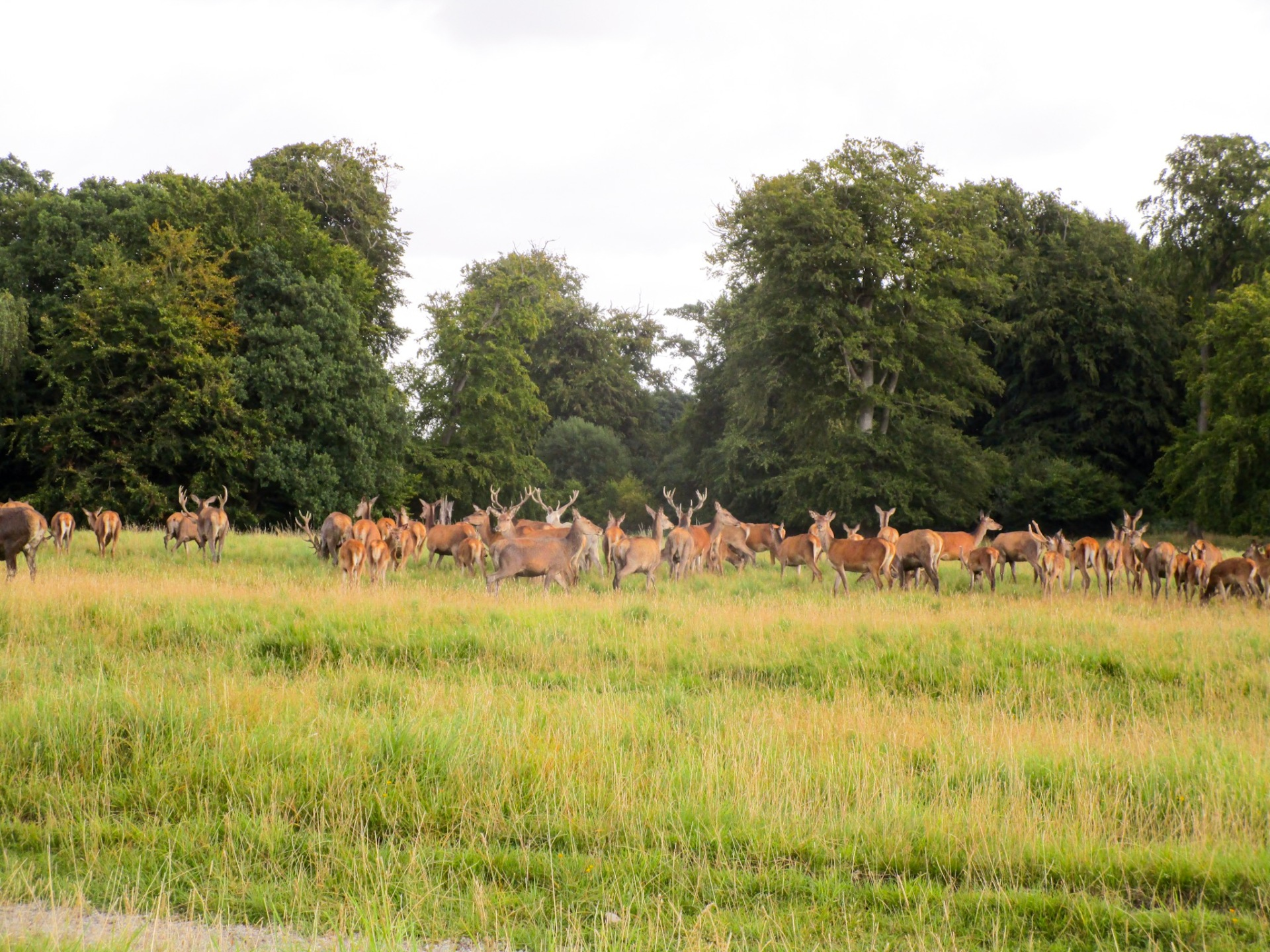 A herd of deer in Denmark
