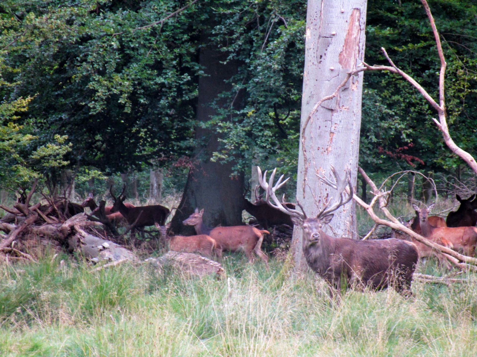 A large stag