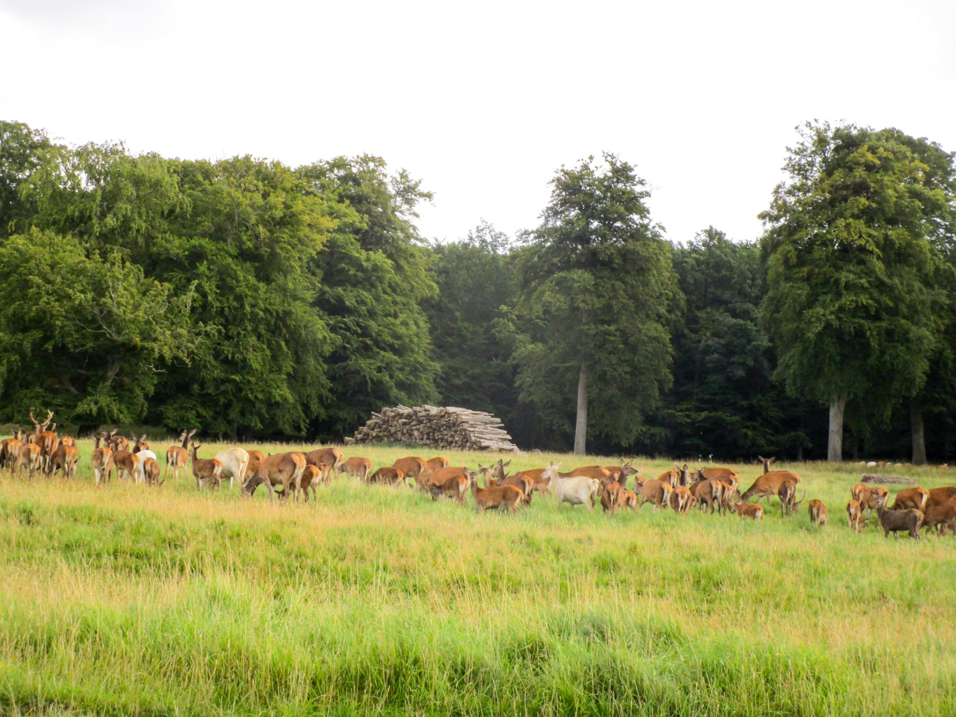 Herd of deer in Denmark