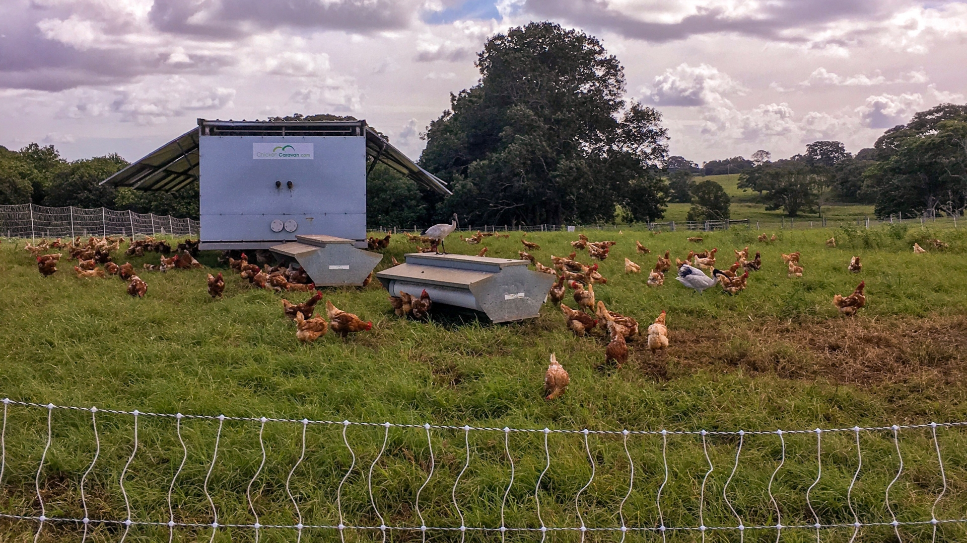 Chickens at the Farm at byron bay