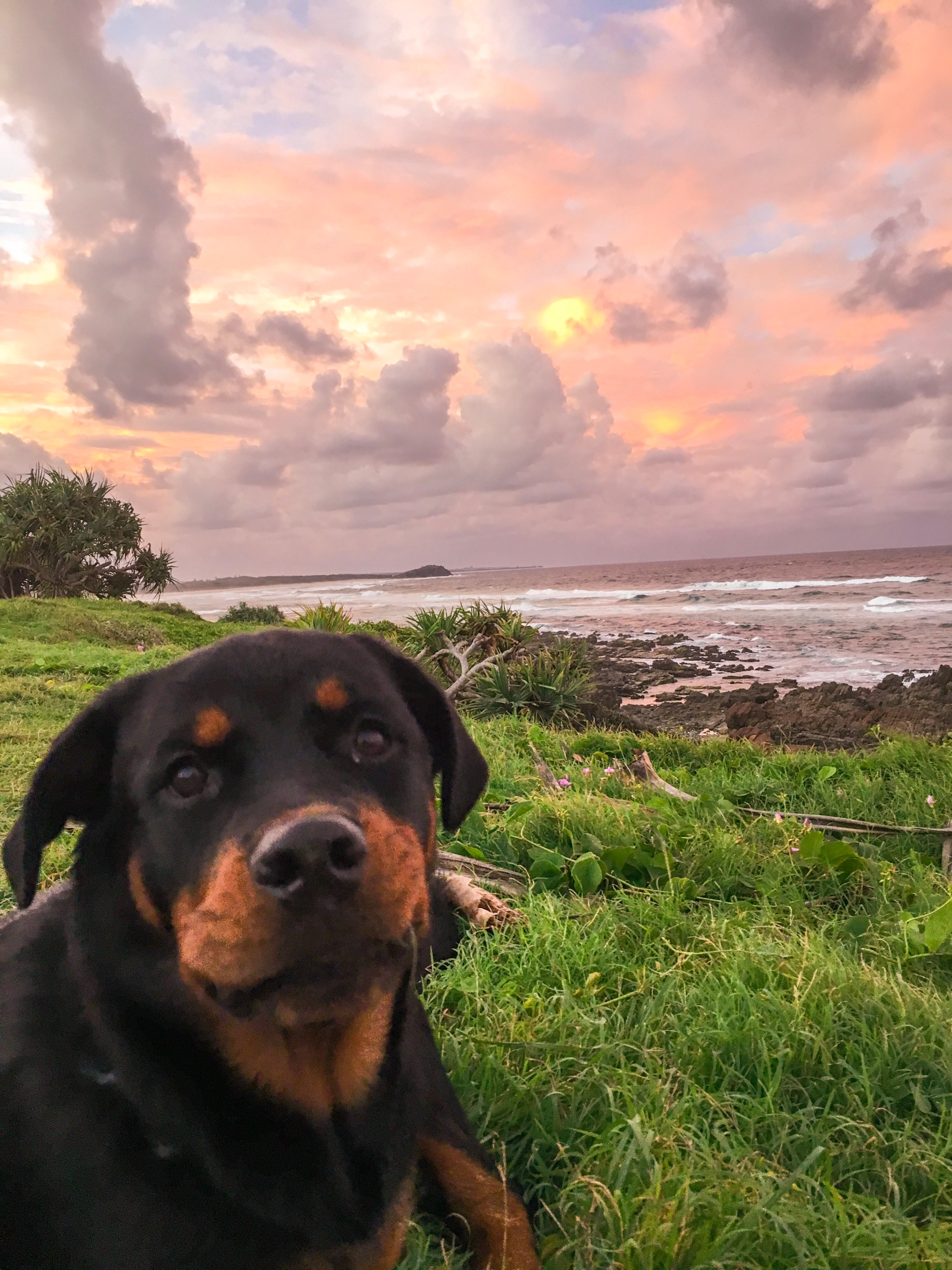 Rottweiler puppy enjoying the pink sunset at Cabarita beach