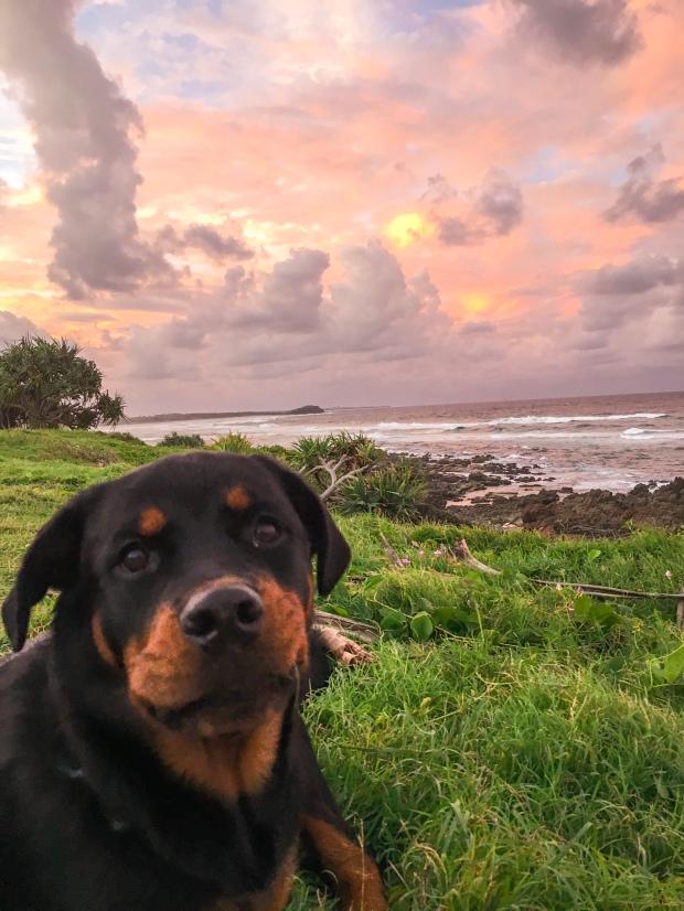 Rottweiler puppy enjoying the pink sunset at Cabarita beach